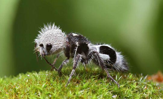 Обои Прикольный волосатый муравей идет по траве