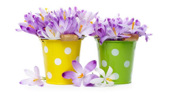 Обои Букеты весенних крокусов, стоящие в разноцветных ведрах