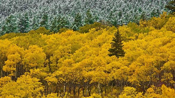 Обои Осенне-зимний лес, половина которого покрыта снегом, а другая желтыми листьями