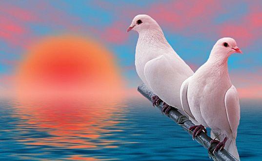 Обои Два белых голубя сидят на ветке над водой, на фоне голубого неба с розовыми облаками и восходящим солнцем