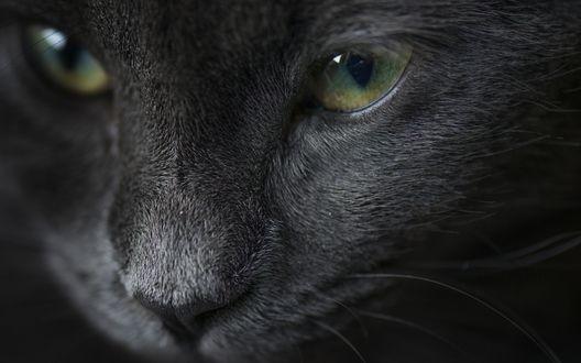 Обои Мордочка черной кошки с зелеными глазами