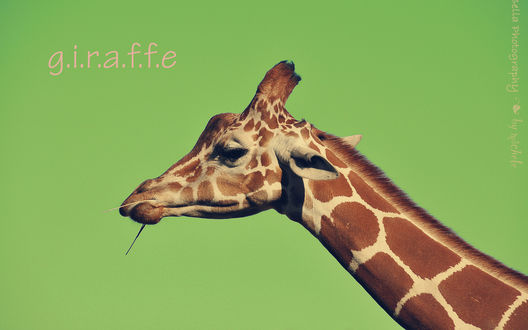 Обои Жующий жираф (g. i. r. a. f. f. e, Bella photography by michele)