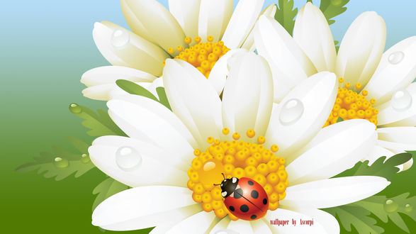 Обои На цветке ромашки в каплях воды сидит божья коровка