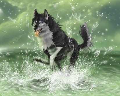 Обои Собака хаски с синими глазами, радостно скачет на воде, поднимая кучи брызг