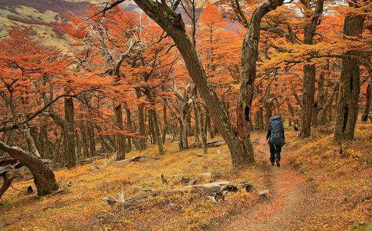 Обои Человек с тяжелым, туристическим рюкзаком за спиной, идущий по узкой тропинке, усыпанной осенними листьями в лесной роще