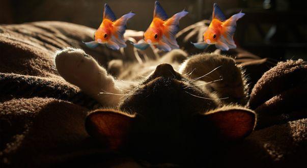Обои Котенок спит на спине и видит во сне трех золотых рыбок