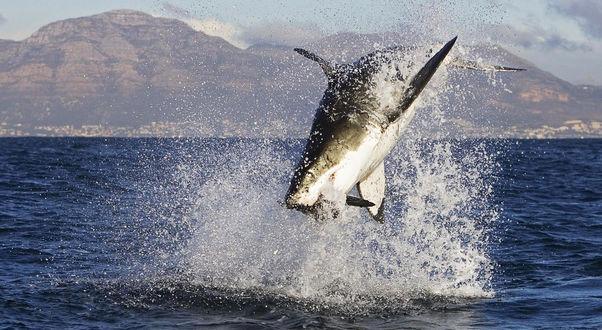 Обои Акула ловит добычу, выпрыгнув высоко из воды