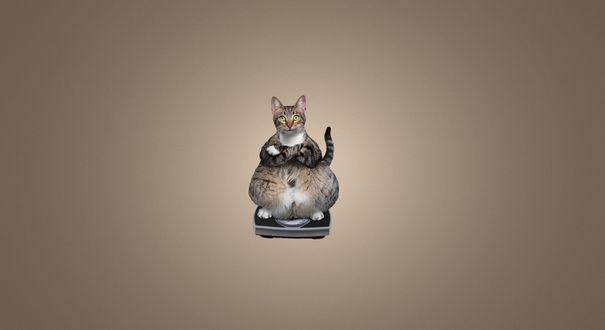 Обои Толстый кот скрестив передние лапы на груди, стоит на весах для взвешивания