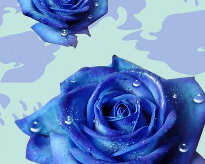 Обои Цветы синей розы с капельками воды на лепестках