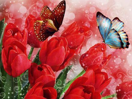 Обои Бабочки на красных тюльпанах
