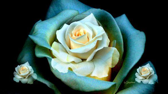Обои Три кремовые розы в зеленом обрамлении, by Googlehend