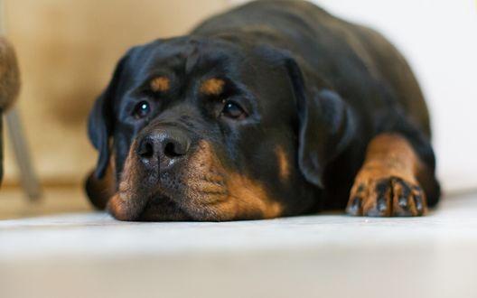 Обои Ротвейлер с грустным взглядом лежит на полу