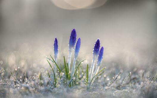 Обои Фиолетовые крокусы в капельках росы