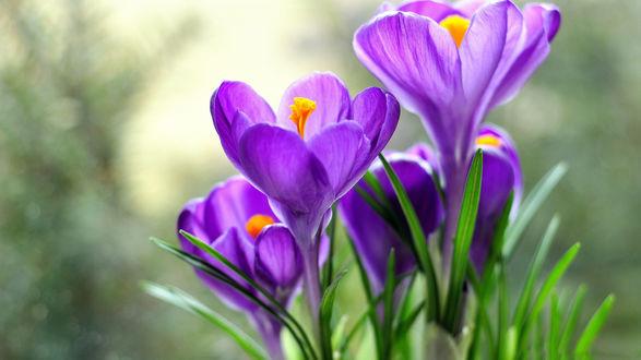 Обои Фиолетовые крокусы крупным планом