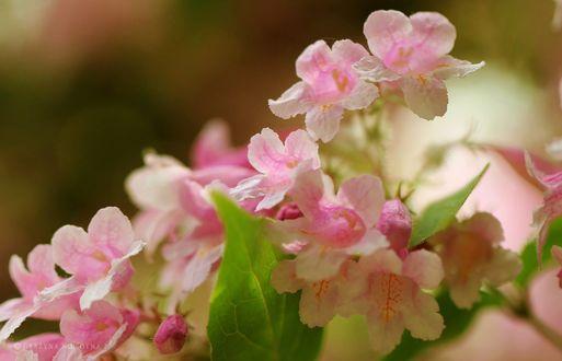 Обои Розовые весенние цветы