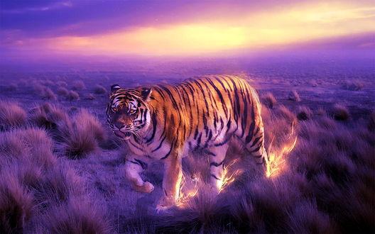 Обои Тигр идет по фиолетовой саване, оставляя огненные следы