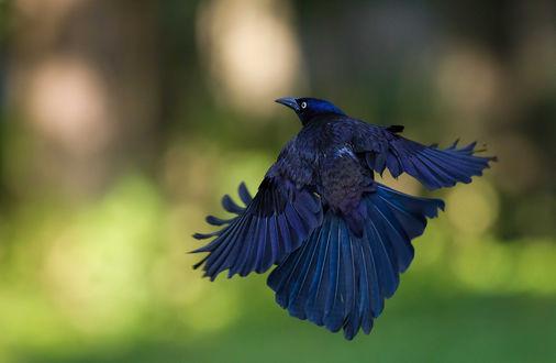 Обои Большая синяя птица летит распушив хвост и расправив крылья