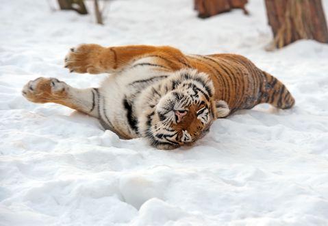 Обои Амурский тигр катается на снегу