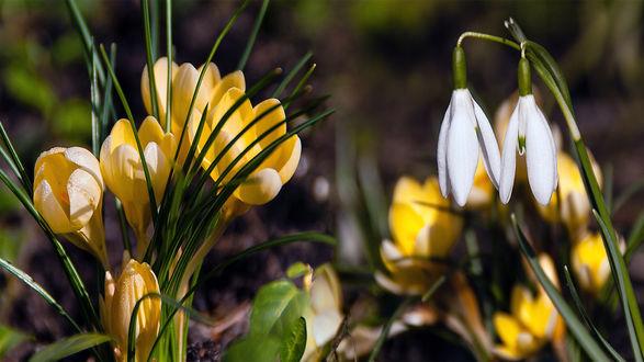 Обои Весенние подснежники и желтые крокусы на размытом фоне