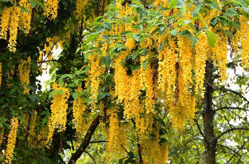 Обои Цветущее весной желтым цветом дерево глицинии