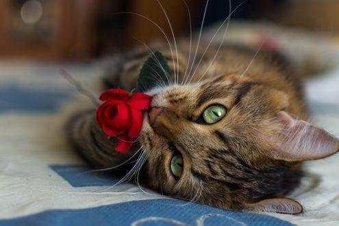 Обои Полосатый кот лежит на кровати и держит в зубах красную розу