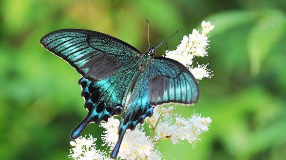 Обои Бабочка Махаон Парусник сидит на белых цветах