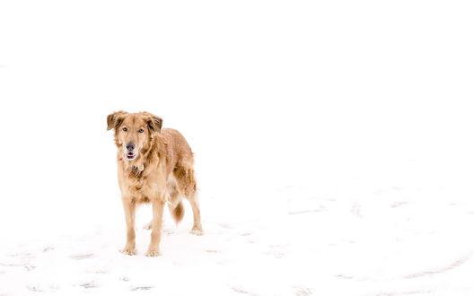 Обои Собака стоит на белом снеге