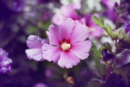 Обои Розовый цветок гибискуса
