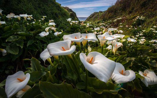 Обои Белые Каллы растущие среди гор недалеко от моря