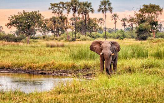 Обои Слон гуляет возле воды