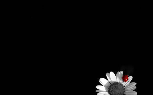 Обои Божья коровка сидит на обесцвеченном цветке ромашки