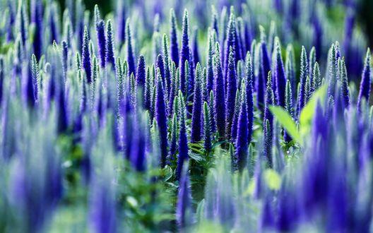 Обои Множество цветущих синих цветов
