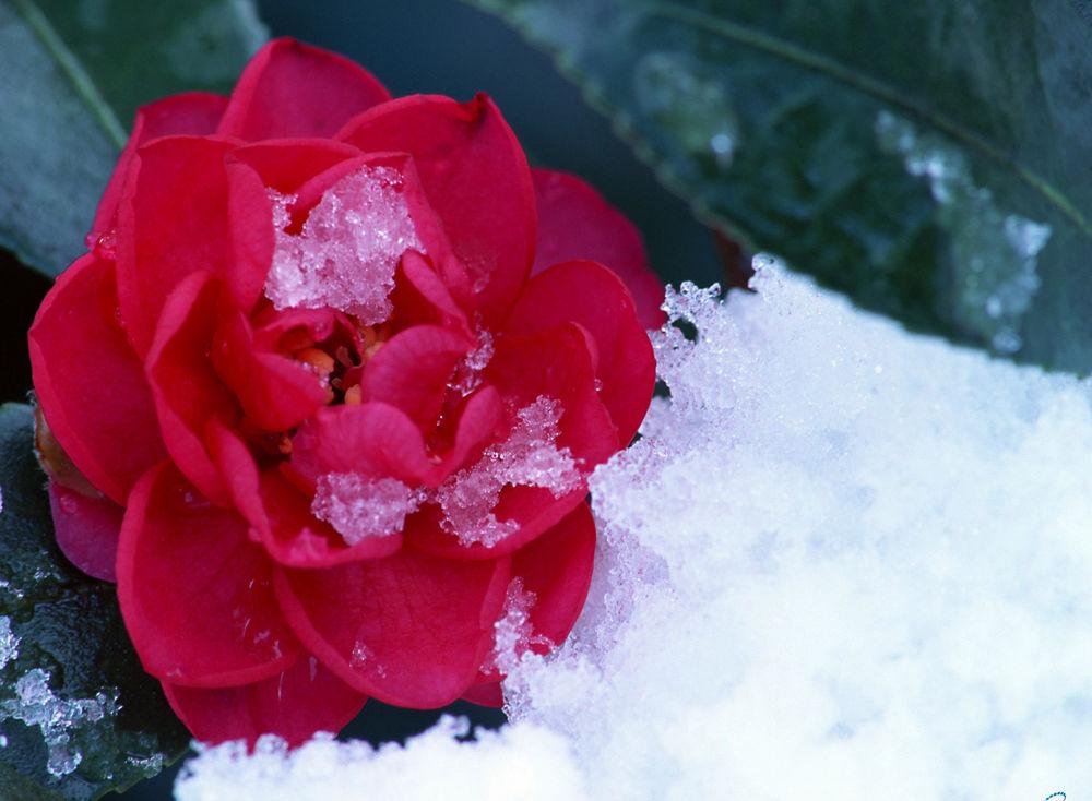 Картинки цветы на снегу красивые, картинки грустными
