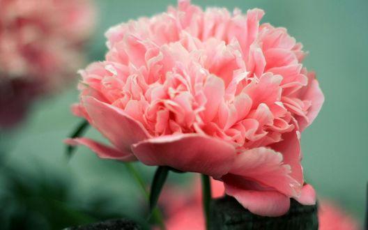 Обои Бутон розового пиона на размытом фоне