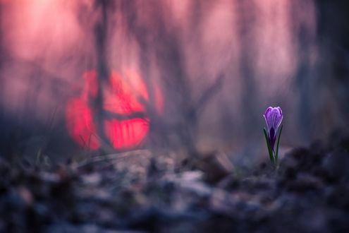 Обои Подснежник на фоне заката, фотограф Вячеслав Мищенко