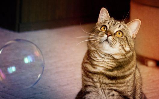 Обои Полосатый кот сидит на полу возле мыльного пузыря и смотрит в вверх