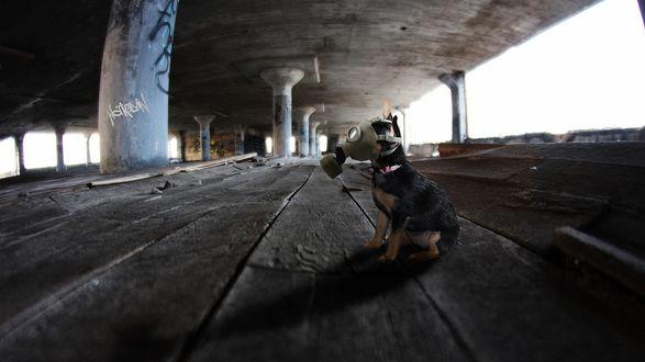 Обои Собака сидит в противогазе, под мостом на деревянной поверхности