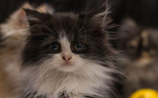 Обои Пушистый котенок с грустным взглядом