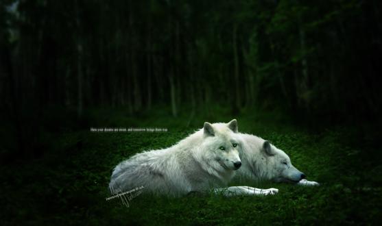 Обои Два белых волка отдыхают в лесной чаще (Here Your dreams are sweet. And tomorrow brings them true / Здесь ваши сны сладки. А завтрашний день преподнесет вам действительность)