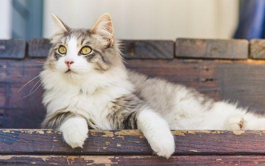 Обои Пушистая кошка лежит на ступеньках