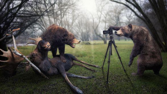 Обои Один медведь фотографирует при помощи фотоаппарата на треноге другого медведя, над поверженной жертвой, сохатым лосем