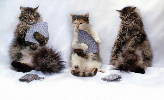 Обои Три кота сидят и играют в карты