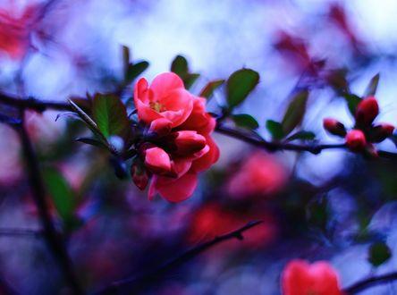 Обои Соцветие красных цветков на ветке в окружении зеленых листьев. Фон размытый сине-розовый. Автор Соня Колосова