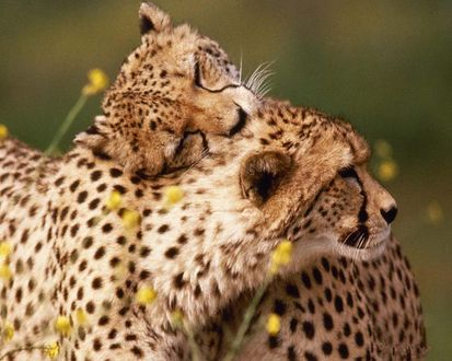 Обои Любовные игры леопардов