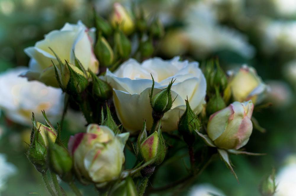 картинка белы бутон розы ногтях это