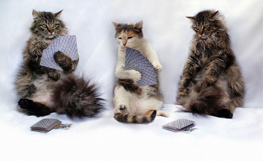 картинка коты играют в карты