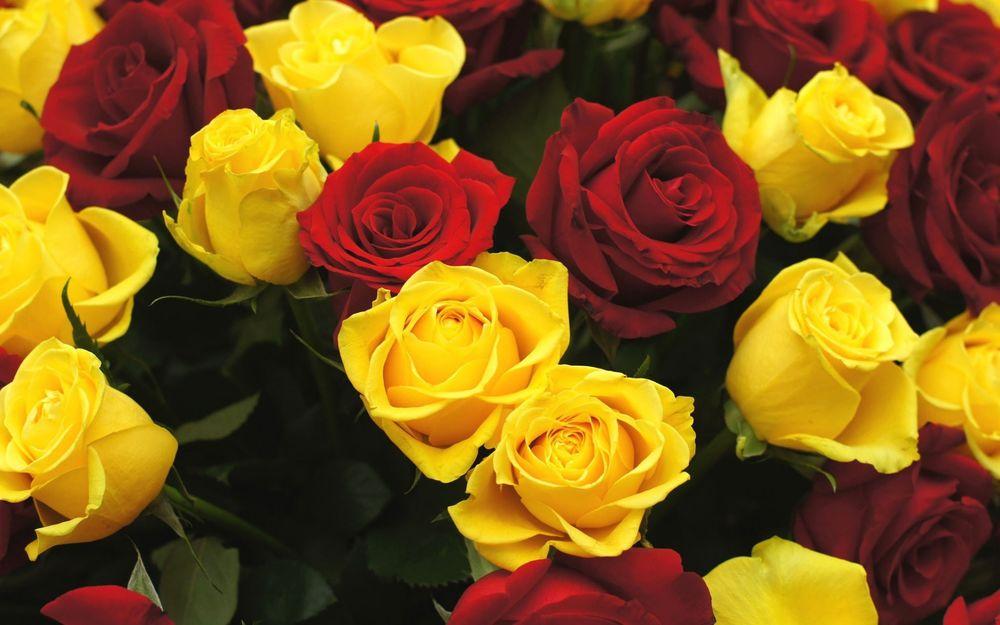 Жёлтые розы обои на рабочий стол