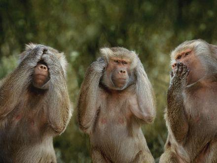Обои Три обезьяны сидят закрыв лапами глаза, уши, рот (Ничего не слышу, ничего не вижу, ничего не говорю)