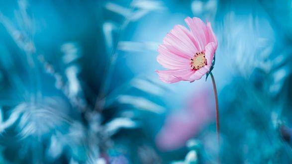 Обои Розовый цветок космеи на размытом фоне