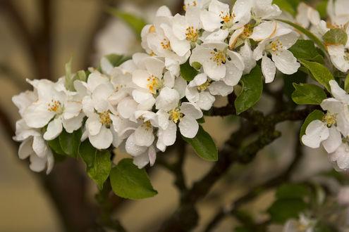 Обои Весенние цветы на ветке в каплях росы, ву Henrik Abildgaard